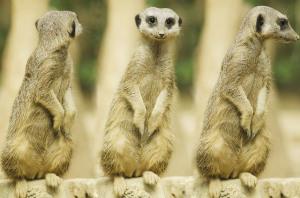 meerkat-275967_640